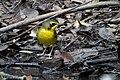 Kentucky Warbler (male) Sabine Woods TX 2018-04-21 12-29-34 (41072224975).jpg