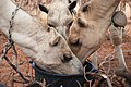 Kenya livestock (6860085122).jpg