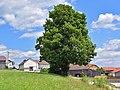 Kirchschlag bei Linz - Naturdenkmal nd366 - Doppelahorn - 2.jpg