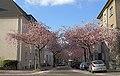 Kirschblüte in der Moltkestraße, Dortmund - panoramio.jpg