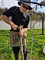 Kiwifruit vine grafting 10.jpg