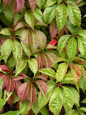English: Wilde Wingerd Virginia Creeper Parthe...