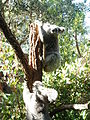 Koala 8.jpg