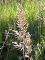 Koeleria macrantha (3879657687).jpg