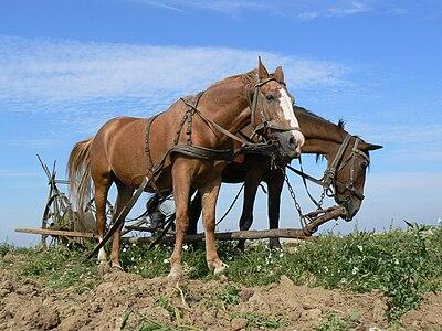 Konie w zaprzęgu.JPG