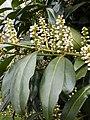 Korina 2011-04-05 Prunus laurocerasus 2.jpg