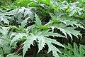 Korina 2011-06-24 Heracleum mantegazzianum 4.jpg