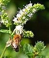 Krabbenspinne mit Bienenopfer.jpg