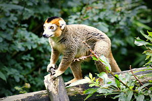 Crowned lemur - Crowned Lemur (Zooparc Overloon, the Netherlands)