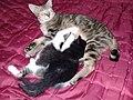 Kucing Domestik.jpg