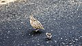 Kurrichane Button Quail (38162227551).jpg