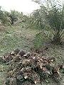 La récolte des régimes de noix de palme à Pobé.jpg