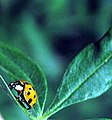 Ladybug on Butterfly Bush (17193578).jpg