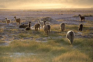 Lamas in the sunset San Pedro de Atacama Chile Luca Galuzzi 2006.jpg