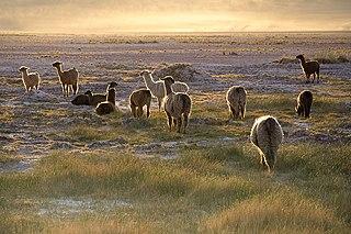 Troupeau de Lamas dans LAMA 320px-Lamas_in_the_sunset_San_Pedro_de_Atacama_Chile_Luca_Galuzzi_2006