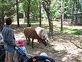 Lamas zoo Granby 2006-07.JPG