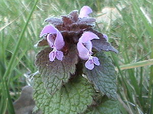 Lamiaceae - Lamium purpureum, showing the bilaterally symmetrical flower
