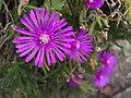 Lampranthus spectabilis.jpg