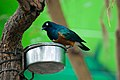 Lamprotornis superbus -Cape May Zoo, New Jersey, USA-8a.jpg