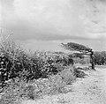 Landschap met een watapana- of divi-divi-boom op Curaçao, Bestanddeelnr 252-7374.jpg