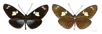 Laparus doris - Image: Laparus doris doris MHNT