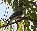Large Cuckooshrike (Coracina macei) W IMG 4393.jpg