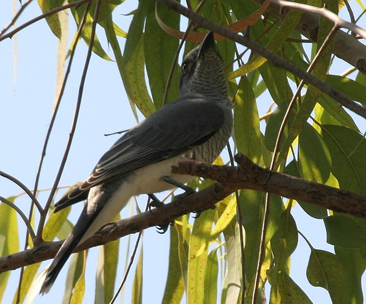Large Cuckooshrike (Coracina macei) W IMG 4393