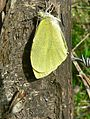 Large white (Pieris brassicae) fresh from chrysalis (8337435391).jpg