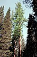 Larix occidentalis Abies lasiocarpa.jpg