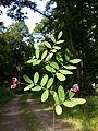 Lathyrus niger sl6.jpg