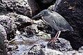 Lava Heron (Butorides sundevalli), Santa Cruz, Galapagos.jpg
