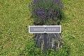 Lavandula angustifolia (4).jpg