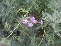 Lavandula canariensis.jpg