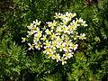 Lavatera acerifolia 2c.JPG