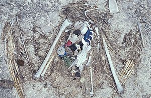 Great Pacific garbage patch - Remains of an Albatross containing ingested flotsam