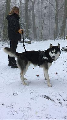 les chiens husky