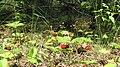 Leśne runo... poziomki - panoramio.jpg