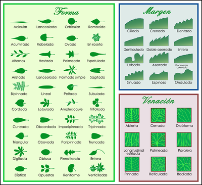 Morfología Foliar Wikipedia La Enciclopedia Libre