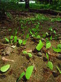Leafcutter ants transporting leaves.jpg