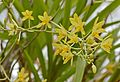 Leopard Orchid (Ansellia africana) flowers (32327557676).jpg
