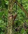 Lepidocolaptes souleyetii (Trepador campestre) (13984977148).jpg