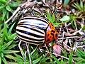 Leptinotarsa decemlineata (Colorado potato beetle), Molenhoek, the Netherlands - 2.jpg