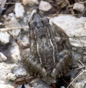 Description de l'image Leptodactylus fuscus.jpg.