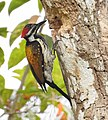 Lesser Flameback woodpecker 2 (Dinopium benghalense)നാട്ടു മരംകൊത്തി .jpg