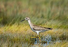 Lesser Yellowlegs - Rachel Carson National Wildlife Refuge.jpg