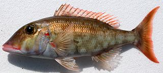 <i>Lethrinus rubrioperculatus</i> species of fish