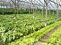 Lettuce farm-impasug-ong2.JPG