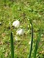 Leucojum aestivum flowers1.jpg