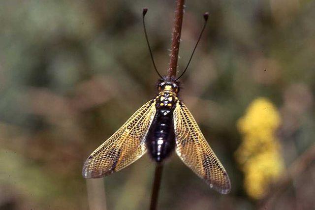 640px-Libelloides_longocornis.jpg