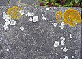 Lichen on garden wall, London N14 - geograph.org.uk - 1189315.jpg